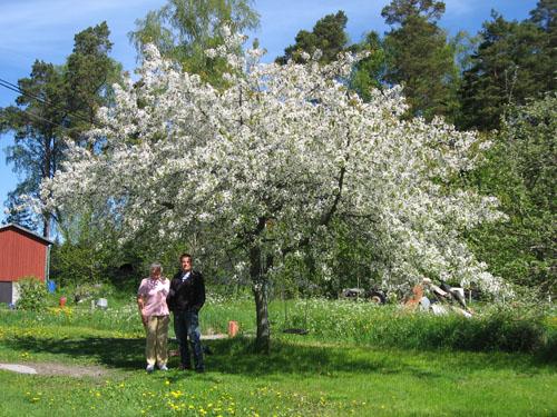 Tobbe och Gunvor under ett fantastiskt körsbärsträd.