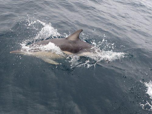 En av våra delfinvänner, en sadeldelfin.