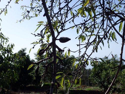 Mandelträd blommar ju vackert på våren, men jag har aldrig sett eller plockat själva mandlarna tidigare. Men här fanns de lite överrallt.