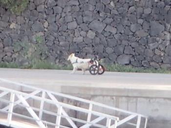 Den här lilla vovven var ute med sin husse på promenad. Han saknar bakben - och hade fått en liten vagn istället.
