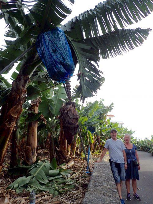 Plastpåsar träs på bananstocken för att skydda mot väder och parasiter.