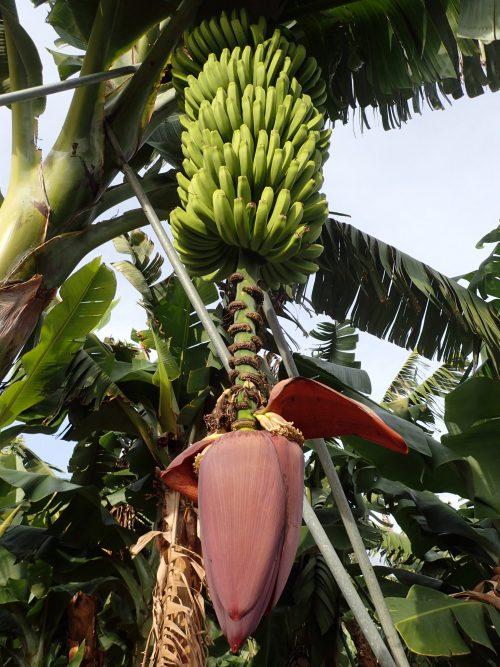 Det är banan-damerna som bär frukt, och när de gjort det en gång huggs plantan ner. Bitarna läggs på marken som gödning.
