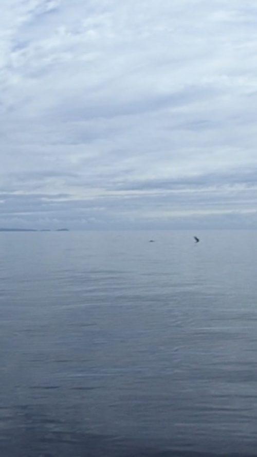 Vi såg ett helt stim på håll med lekfulla små delfiner som hoppade så fint, men de ville inte vara med på närbild.